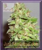 Dr Krippling Auto Dizzy Lights Feminized Marijuana Strain Seeds